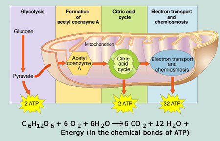 Unit 12 cellular respiration lessons tes teach table 4s cell wiki how cells get energy ccuart Choice Image
